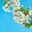 Blossom of Cherry — Stock Photo