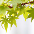 Maple leaves (Acer palmatum) - Lizenzfreies Foto