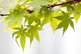 Maple leaves (Acer palmatum) — Stock Photo