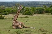 Giraff — Stock Photo