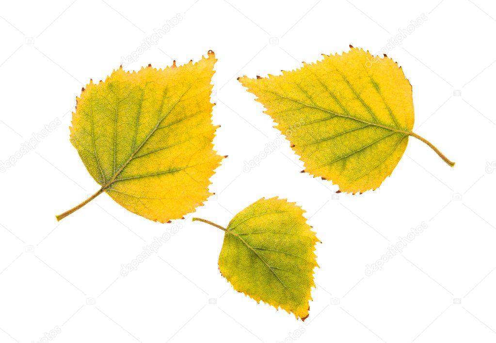 Фото на белом фоне лист