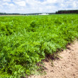 Field with carrot - Stock Photo