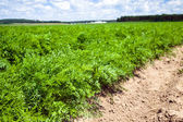 Field with carrot — Stock Photo