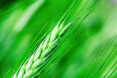 Ear wheat — Stock Photo