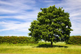 Green maple — Foto de Stock