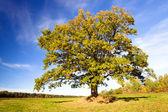 Oak (autumn) — Stock Photo
