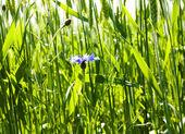 Dark blue cornflower — Stock Photo