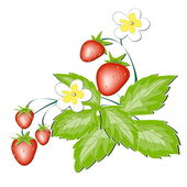 Red wild strawberry a berry and a white flower — Stock Vector