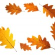 Stock Photo: Autumn oak leaves