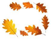 Hojas de otoño roble — Foto de Stock