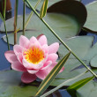 Lotus on the lake — Stock Photo #7828310