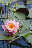 Lotus on the lake — Stock Photo