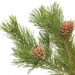 Stock Photo: Siberian pine cones with branch