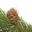 Siberian pine cone with branch — Stock Photo #7097089