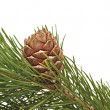 Siberian pine cone with branch — Stock Photo