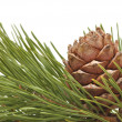 Siberian pine cone with branch — Stock Photo #7097093