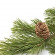 Siberian pine cone with branch — Stock Photo #7097120