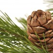 Siberian pine cone with branch — Stock Photo #7097128