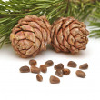 Siberian pine nuts and needles branch — Stock Photo