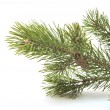 Branch siberian pine — Stock Photo