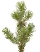 Branch siberian pine — Stock Photo