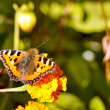 Butterfly on flower — Foto Stock