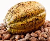 Cacao bean — Stock Photo