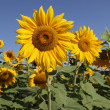 Royalty-Free Stock Photo: Sunflowers portrait shot