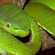 Stock Photo: Venomous green viper