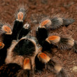 Mexican red knee tarantula — Stock Photo