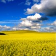Yellow field with oil seed rapeseed - Stock Photo