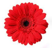 Gerber blossom close-up — Stock Photo