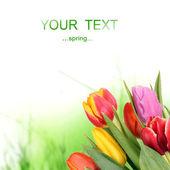 Beautiful tulip flower — Stock Photo