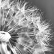 Close-up of dandelion seed head — Stock Photo #7646532