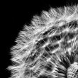 Close-up of dandelion seed head — Stock Photo #7647687
