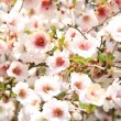 Beautifully blossoming cherry tree — Stock Photo
