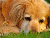 Head of golden retriever — Stock Photo