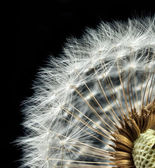 Close-up of dandelion seed head — Stock Photo