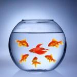 Gold fishes in aquarium — Stock Photo