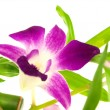 Stock Photo: Beautiful purple orchid dendrobium