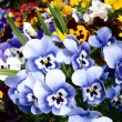 Pansy flowers in flower bed - Stock Photo