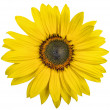 Beautiful yellow sunflower on white - Stok fotoğraf