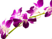 Beautiful purple orchid dendrobium — Stock Photo