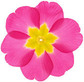 Beautifully blossoming pansy flower — Stock Photo