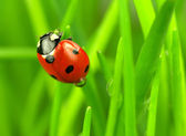 Beautiful ladybugs being mate on green leaves — Stock Photo