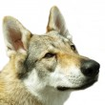 Wolf head — Stock Photo
