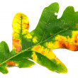 Oak leaf on white background - Foto Stock