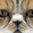 Close-up portrait of exotic cat — Stock Photo