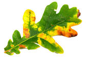 Oak leaf on white background — Stock Photo
