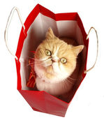 Christmas cat in red bag — Stock Photo